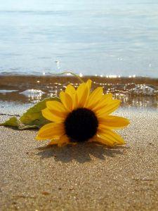 beached-sunflower