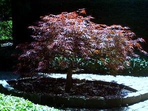 Japanese_maple_by_Liz_Strauss