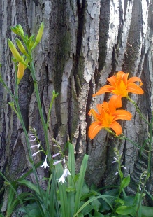 Orange-lilies-by-the-tree_by_Liz_Strauss