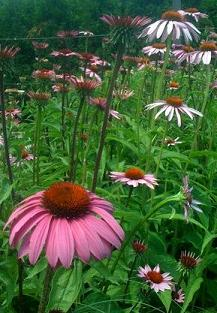 Networking withPurpleConeflowers_by_Liz_Strauss