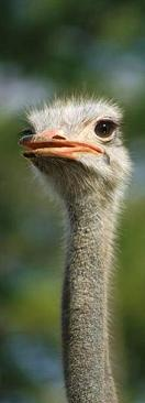 Ostrich_from_Geek_Philosopher