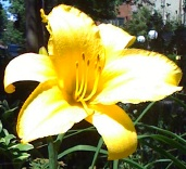 Yellow_Lily_by_Liz_Strauss