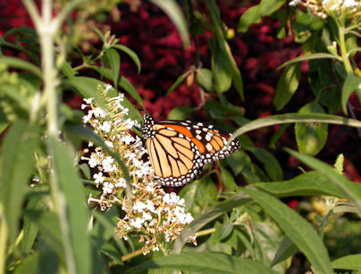 monarch_and_flower
