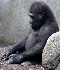 Gorilla_from_sxc.hu