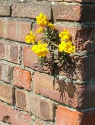 Wallflower_from_sxc.hu