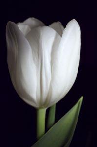 800249_tulip