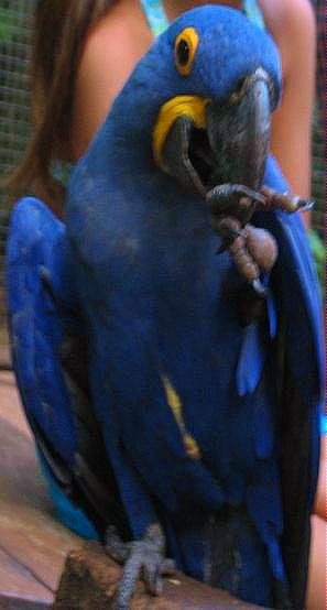 blueparrotbyetstrauss