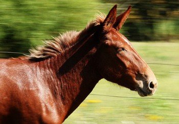 running-mule