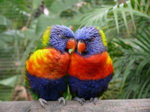 1066842_parrots_in_love