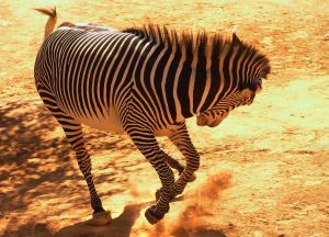 850676_bucking_zebra