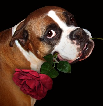 BigStock: The Boxer and the Rose