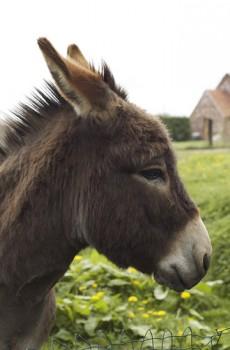 closeup_donkey