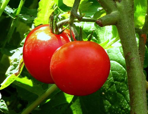 good tomato customer service