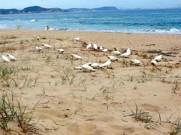 beach with cockatoos