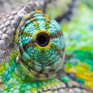 chameleon eye closeup
